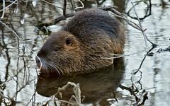 Ragondin , tout autour de lui, l'étang est gelé ! DSC05533 (6franc6) Tags: 30 hiver froid gard petitecamargue 6franc6