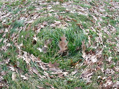 whirlpool leaf nest 1 (Zombie37) Tags: park brown green nature strange grass leaves circle walking weird leaf oak nest spin hurricane dry ground center baltimore fisheye odd whirlpool fallen swirl dizzy whoa swept effect hampden tuft circular settings swirled elph300