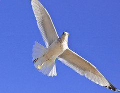 (HisPhotographs.com) Tags: park white bird ga georgia wings open legs seagull bluesky savannah bif sav birdinflight expanded lakemayer blacktips