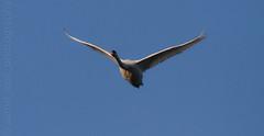 Swan In Flight (aaron_eos_photography) Tags: park lake nature birds canon duck spring swan wildlife ducks sigma swans 7d birdsinflight coot bif wildfowl coots actionphotography parklake lurganpark sigma170500mm lightroom5