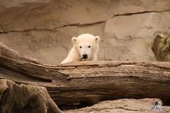 Eisbr Lilli im Zoo Bremerhaven 30.04.2016 Teil 2  15 (Fruehlingsstern) Tags: sunset sonnenuntergang polarbear lloyd lili bremerhaven zooammeer valeska eisbr canoneos750 tamron16300