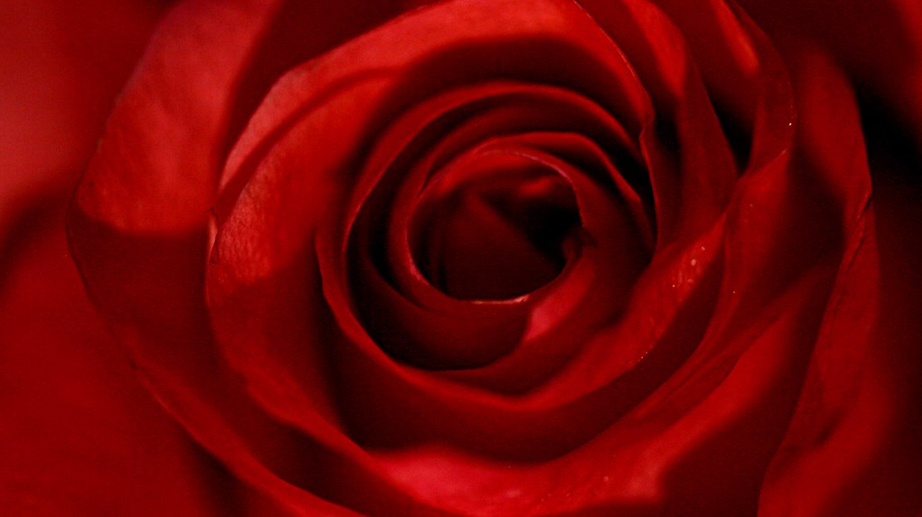 By Stan V. Griep American Rose Society Consulting Master Rosarian – Rocky Mountain District. If you grew up with a grandmother or mother that loved and grew roses, then you might just remember the name of her favorite rose bush.