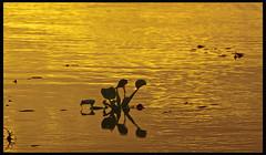 Water Hyacinth: Sunset, Lake George (hamsiksa) Tags: light sunset wild plants water florida lakes seville lakegeorge rivers aquatic hyacinth eichhorniacrassipes volusiacounty saintjohnsriver subtropicpenninsula