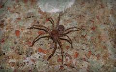 sparassid ? (dustaway) Tags: nature rainforest australia nsw arthropoda rotarypark arachnida lismore australianwildlife araneae araneomorphae australianspiders sparassidae northernrivers
