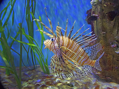 Lion Fish (FrankCrommelin) Tags: fish water aquarium underwater lionfish tropicalfish wetpet frillfinturkeyfish
