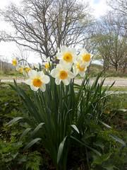 Full Bloom (Quetzalcoatl002) Tags: flowers spring trumpet bloom narcissus narcissen