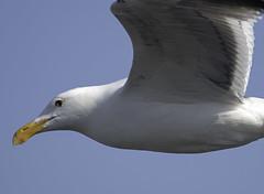 Closeup Gull (dcnelson1898) Tags: california outdoors photography coast nikon highway1 pacificocean fortbragg mendocinocounty