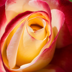 _DSC8903 (exceptionaleye) Tags: flowers roses flower macro nature rose sandiego availablelight sony southerncalifornia a6000 sonyphotographing emount sony30mmmacro ilce6000 sonya6000