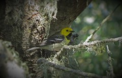 Presumed Hermit/Townsend's Warbler (Hybrid) (tedell) Tags: california county lake bird oso san may luis hybrid hermit warbler flaco obispo 2016 towsends