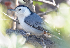 Montane White-breasted Nuthatch - Alamosa County, CO - May 2016 (SteveMlodinow) Tags: red