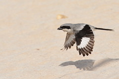 Arabian Grey Shrike @ Mushrif Park, Dubai, UAE (Ma3eN) Tags: park bird grey inflight dubai uae arabian shrike 2016 mushrif