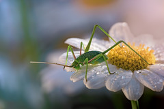 lovely view (marcello.machelli) Tags: nature rain bug insect jump ray cricket daisy raindrops pioggia margherita grillo rayofsun greencricket