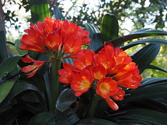Clivia miniata (tgrauros) Tags: fleurs fiore flors ortobotanico sicília palerm cliviaminiata ortobotanicodipalermo jardíbotànicdepalerm