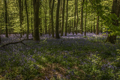 ltr-2259 (KazzT2012) Tags: bluebells canoneos70d chilterns spring woods trees ashridgeestate blue flower thechilterns