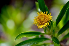 Bushy Seaside Oxeye (bmasdeu) Tags: seascape flower keys seaside key florida largo astor tansy oxeye