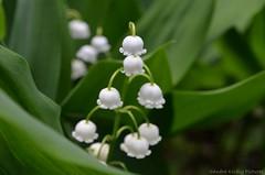 Lily of the valley (Sandra Kirly Pictures) Tags: flowers flower spring outdoor poland warsaw botanicalgarden warszawa lilyofthevalley ogrdbotaniczny