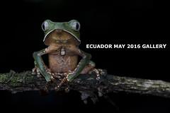 ECUADOR GALLERY (MattSullivan) Tags: monkey ecuador amazon nikon rainforest frog tropical treefrog herps amazonrainforest monkeyfrog herping phyllomedusa d810 vaillanti nikond810 phyllomedusavaillanti tropicalherping whitelinedmonkeyfrog