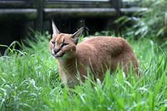 WHF: Griffin (Caracal) (Jasmine'sCamera) Tags: wildlifeheritagefoundation whf bigcats bigcat caracal