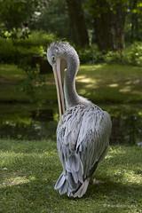 Pelikan grau (mwo_w_GER) Tags: gris gray grau pelikan pelecanus pelecanidae plican