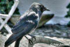 hello? (Peter Bergmann - Fotograf) Tags: hello bird sitting hallo sayhello