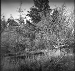 tree forms, apple, spruce, White Head, Monhegan, Maine, Bencini Koroll S, R5 Monobath Devveloper, 5.18.16 (steve aimone) Tags: trees 120 6x6 film apple monochrome mediumformat maine monochromatic whitehead spruce monhegan appletree monheganisland fomapan200 sprucetrees epsonperfectionv500 bencinikorolls r5monobathdeveloper