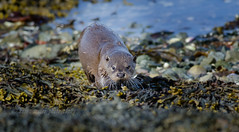 Otter (kfjmiller) Tags: coastal mull nature otter sea seaweed water wildlife nikon d7000 mustelid animal outdoor seascape