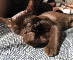 Marabella (Uldzha (LV)) Tags: burmese cat kitten cute cats brown burma burman plus 6s iphone apple pet pets kittens