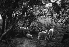 lamb (dudout) Tags: trip utrecht olympus lamb 35