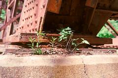 IMG_2254 (giltay) Tags: trestle bridge weeds rust rivets steel railway cp cpr plinth canadianpacificrailway topw takumarsmc55mmf18 charlessauriolconservationarea torontophotowalks topwaged torontophotowalksagakhancentreeastdontrailedwardsgardens