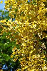 Gold Maple Leaf (ddsnet) Tags: autumn plant leaves sony taiwan autumnleaves   taoyuan autumnal 900      leaves autumn autumn leaves 900  900 851 85