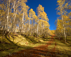 Kolob Country Road, Utah (Robert Pearce Photography) Tags: autumn trees white detail fall leaves yellow rural landscape gold utah nationalpark nikon grove bark aspens zion roads trunks aspen countryroad kolob nikond200 robertpearce robertpearcephotography
