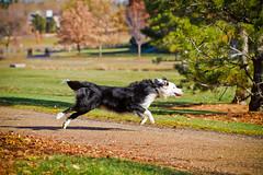 Elastic Dog (Anda74) Tags: november fall colorado action stretch bordercollie ouzo elastic canonef100mmf28lisusmmacro