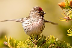 Common Redpoll - Auðnutittlingur (Rodor54 in Iceland - Rohingya in our hearts) Tags: nature birds iceland wildlife ngc npc rodor carduelisflammea commonredpoll auðnutittlingur