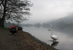 Swan, Grasmere, Lake District (Mukumbura) Tags: uk autumn trees england cloud mist lake bird leaves weather fog reflections landscape outdoors swan scenery photographer village unitedkingdom grasmere wildlife lakedistrict shore cumbria dull elegance muteswan