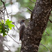 Northern Flicker (Red-shafted) Woodpecker
