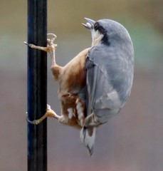 Yet another Nuthatch.      Explored (Paul (Barniegoog)) Tags: winter bird nature december nuthatch soe gardenbird