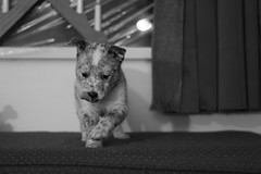 The Blue Prince (MichelleLegere) Tags: blue dog canon puppy eos canine 7d pup heeler parvo canid parvovirus