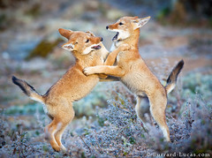 Ethiopian Wolf Pups (Burrard-Lucas Wildlife Photography) Tags: playing pups wolf ethiopia wolves balemountains ethiopianwolf