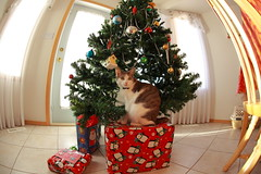 Christmas is Coming! (kcezary) Tags: christmas xmas canada cat canon holidays christmastree christmaslights gato alberta christmasdecorations katz canoneflens canonef15mmf28fisheye cc100 canonprimelens canon5dmkii mylensdb