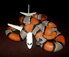 Snake on a Plane (EcoSnake) Tags: plane education bandit reptiles herps lampropeltisalterna snakeonaplane graybandedkingsnake
