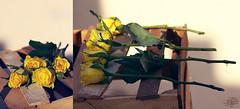 أربع أعوام أينعت وحان قطافها (عفاف المعيوف) Tags: flower وردة ورود زهرة ورد أصفر زهر باقة