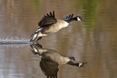 Dragging it's feet (phenix) Tags: bird minolta g sony ngc flight goose apo 300mm landing npc tc delaware f4 canadagoose hs 14x a700 beckspond birdperfect onlythebestofnature ringexcellence dblringexcellence tplringexcellence eltringexcellence