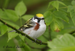 Chestnut-sided Warbler Magee May_MG_1882 (www.sabrewingtours.com) Tags: ohio brian birding migration warbler zwiebel songbird snt sabrewing naturetours phototours birdingtours sabrewingnaturetours brianzwiebel