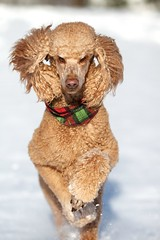 Walk like an Egyptian (Perry McKenna) Tags: snow canon boxingday prince running spoo cooper egyptian 7d standardpoodle 135l day360 redpoodle 111226 day360365 3652011 actuallymorelikecinnamon 365the3511edition holidaybandana justlovesrunning