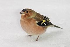 Buchfink im Schnee (Sebastian.Schneider) Tags: schnee winter snow detail bird birds animal animals closeup tiere details finch vögel nahaufnahme tier vogel chaffinch buchfink