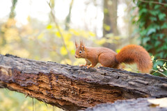 Un cureuil  sur un tronc, Red Squirrel (Zed The Dragon) Tags: wild french geotagged effects photography soleil photo squirrel squirrels flickr minolta photos sony images apo full frame getty fullframe alpha antony animaux 90mm foret parc postproduction franais sal zed gettyimages francais sceaux lightroom f40 cureuil sauvage effets ecureuil parcdesceaux 24x36 a850 0006sec iso2000 sonyalpha hpexif minoltaapo 80200apog parcsceaux dslra850 alpha850 zedthedragon