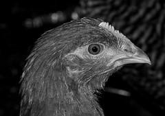 Guatemala - Pjaro / Bird / Vogel (Galeon Fotografia) Tags: naturaleza bird nature guatemala natur ave vogel fgel ibon   hegazti vol kalikasan  nyuni galeonfotografa