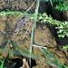 Juvenile Eastern Collared Lizard