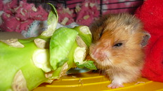 Munching on a sprout stalk (jellybaby86) Tags: pet fluffy hamster satin loved coward syrian longhaired dandydust