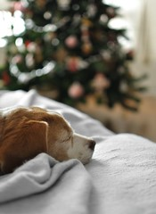 Dreaming of Christmas (Betolandia) Tags: christmas beagle girl pine navidad lemon bokeh mel sleepy siesta pino soar betolandia